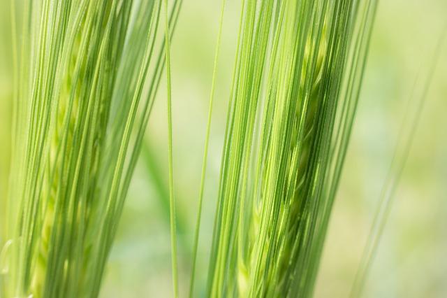 detail klasů zeleného ječmene